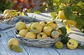 Korb mit frisch gepflückten Apfelquitten 'Konstantinopler' (Cydonia)