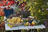 Körbe mit frisch gepflückten Apfelquitten 'Konstantinopler' (Cydonia)