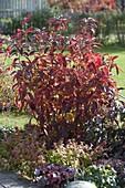 Rhododendron Knap-Hill-Hybride (Großblumige Gartenazalee)