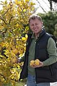 Mann hält frisch gepflückte Apfelquitten 'Konstantinopler' (Cydonia oblonga)