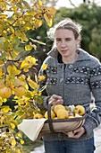 Frau mit frisch gepflückten Apfelquitten 'Konstantinopler' (Cydonia oblonga)