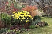 Chrysanthemum indicum 'Novembersonne' (Herbstchrysantheme), Spiraea