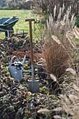 Miscanthus 'Kleine Silberspinne' pflanzen