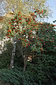 Sorbus aucuparia (Eberesche) mit Früchten, dahinter Betula (Birke), Juniperus (Wacholder) als Bodendecker, Laterne
