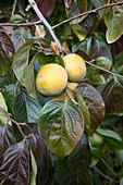 Diospyros kaki (Kaki-Früchte) am Strauch