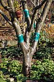 Prunus avium (Kirschbaum) mit Leimringen, Tontopf mit Holzwolle als Unterschlupf für Ohrwürmer