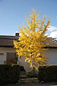 Ginkgo (Fächerblattbaum) im Vorgarten