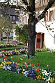 Vorgarten mit Prunus avium (Kirschbaum), Tulipa (Tulpen), Viola wittrockiana (Stiefmütterchen), kleine Rasenfläche