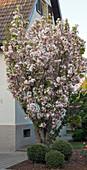 Prunus serrulata 'Amanogawa' (Säulen-Kirsche) im Vorgarten, Buxus (Buchs - Kugeln)