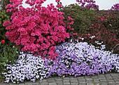 Rhododendron obtusum 'Kermesina' (Japanische Azalee), Phlox subulata 'Emerald Cushion Blue' 'Purple Beauty' (Polsterphlox)