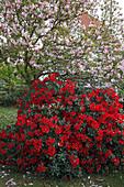 Magnolia loebneri 'Leonard Messel' (Rosa Sternmagnolie), Rhododendron 'Scarlet Wonder' (Alpenrose)