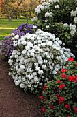 Rhododendron 'Dora Amateis' weiß, 'Scarlet Wonder' rot, 'Azurwolke' violet (Alpenrosen)