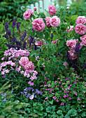 Strauchrose 'Gertrude Jekyll' Calamintha grandiflora (Bergminze)