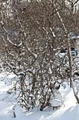Corylus avellana 'Contorta' (Korkenzieherhasel) im verschneiten Garten
