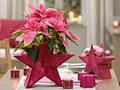 Euphorbia pulcherrima 'Angel Pink' (Weihnachtsstern), pinker Holzstern