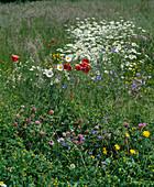 Blumenwiese mit Mohn, MARGERITEN