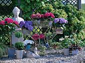 Hydrangea - Hybriden / Hortensien in allen Farben, Buxus / Buchsdoppelkugel