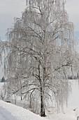 Betula (Birke) mit Rauhreif in verschneiter Landschaft