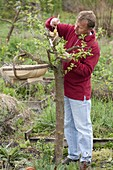 Geißfußveredelung zum Umveredeln eines alten Apfelbaumes