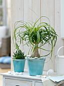 Beaucarnea recurvata (Flaschenbaum, Elefantenfuß) und Aloe 'Cosmo'