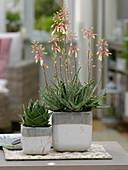 Aloe 'Cosmo' links, Aloe 'Fragili' blühend rechts