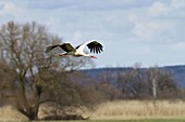 Weißstorch im Flug (Ciconia ciconia)