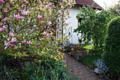 Magnolia 'Susan' (Magnolie), Doronicum (Gemswurz), Corylus avellana 'Contorta' (Korkenzieherhasel) im Vorgarten, Holzkasten mit Viola wittrockiana (Stiefmütterchen), Myosotis (Vergißmeinnicht)