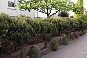 Hecke aus Pinus mugo (Kiefern) auf Mauer