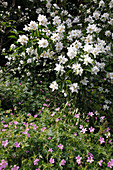 Philadelphus 'Albatre' (Falscher Jasmin, Bauernjasmin), Geranium (Storchschnabel)