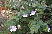 Blühender Kapernstrauch (Capparis spinosa), Peloponnes, Griechenland / blooming Caper, Capparis spinosa, Peloponnese, Greece
