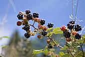 Brombeer-Ranke (Rubus fruticosus), Bayern, Deutschland / blackberries, Rubus fruticosus, Bavaria, Germany