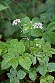Giersch, Aegopodium podagraria, Bayern, Deutschland / wildflower, Aegopodium podagraria; Bavaria, Germany