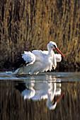 Weißstorch badet mit aufgeplustertem Gefieder, Ciconia ciconia, Deutschland / White Stork bathing, Ciconia ciconia, Germany