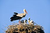 Weißstorch mit Jungen im Nest, Ciconia ciconia / White Stork with chicks in nest, Ciconia ciconia
