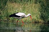 Weißstorch, Ciconia ciconia, Nahrungssuche, Europa / White Stork forageing, Ciconia ciconia, Europe