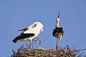 Weißstörche klappern auf dem Nest, Ciconia ciconia, Europa / White Storks on the nest, courtship, Ciconia ciconia, Europe