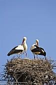 Weißstörche auf dem Nest, Ciconia ciconia, Europa / White Storks on the nest, Ciconia ciconia, Europe