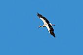 Weißstorch im Flug, Ciconia ciconia, Europa / White Stork in flight , Ciconia ciconia, Europe