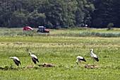 Weißstörche auf einer Wiese bei der Nahrungssuche, Ciconia ciconia, Europa / White Storks on meadow, Ciconia ciconia, Europe