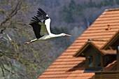 Weißstorch im Flug über Hausdach, Ciconia ciconia, Europa / White Stork in flight over tiled roof, Ciconia ciconia, Europe