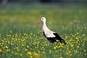 Weißstorch auf Nahrungssuche in Frühlings-Wiese mit Hahnenfuß, Ciconia ciconia, Europa / White Stork forageing in meadow with buttercup in spring, Ciconia ciconia, Europe