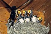 Junge Rauchschwalben im Nest, Hirundo rustica, Griechenland / Young Swallows in the nest, Hirundo rustica, Greece, Europe