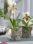 Paphiopedilum 'Leeanum Sitta' 'Amerika' - Hybr. , (Frauenschuh - Orchideen)