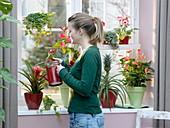 Rotes Fenster mit Anthurium andreanum 'Vito' 'Amalia Orange'