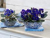 Saintpaulia ionantha (Usambaraveilchen) in blau-weißen Keramik-Schalen