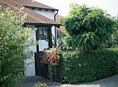 ROBINIA 'Umbraculifera' IM Reihenhausvorgarten