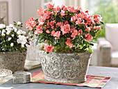 Rhododendron simsii 'Christine Magic' (Zimmerazalee)