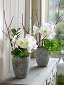 Blüten von Hippeastrum 'Picotee' (Amaryllis) mit Blättern von Zamioculcas