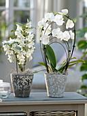 Dendrobium nobile und Phalaenopsis (Orchideen) in grau-weißen Übertöpfen