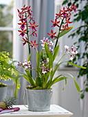 Cambria 'Bobcat' dunkel , 'Euro Star' (Orchideen), Adiantum fragans